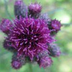Macroaufnahme einer violetten Distelblüte